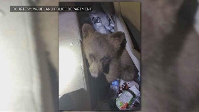 Bear cub in Colorado car